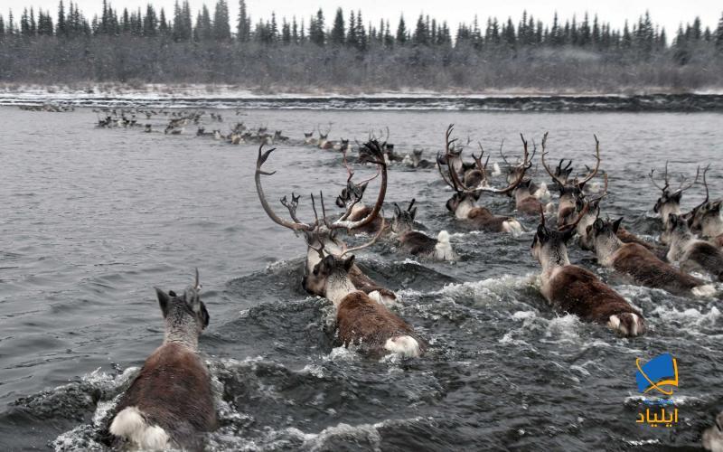 مهاجرت زودهنگام حیوانات سرزمین شمالگان