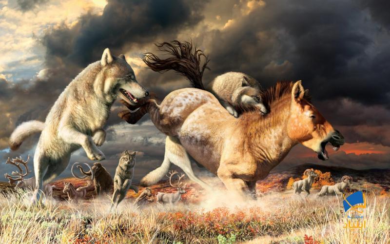 راز بقای گرگهای خاکستری چیست؟