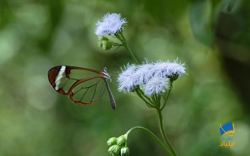 چرا بال برخی از پروانهها شفاف است؟